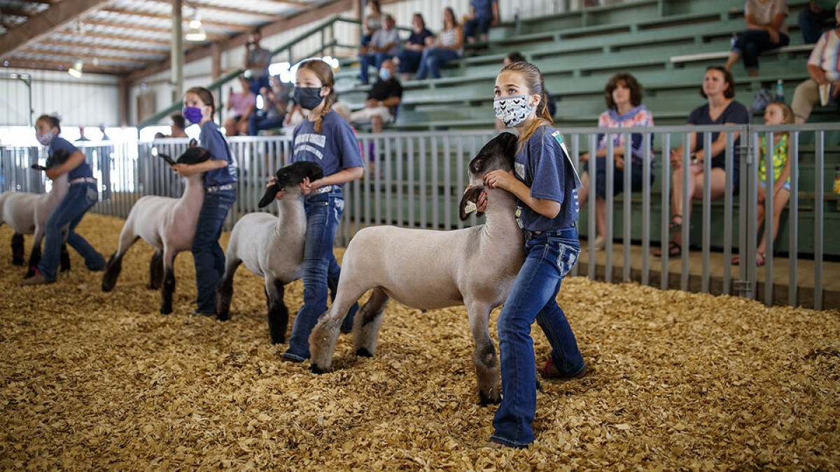children with sheep at a county fair