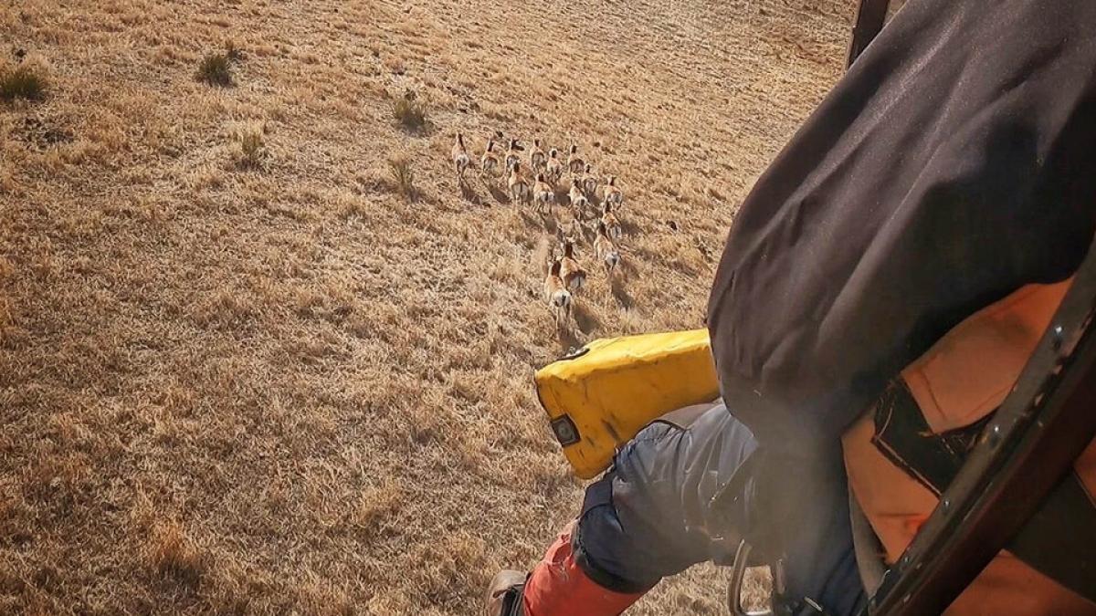 pronghorn running across western Nebraska rangeland