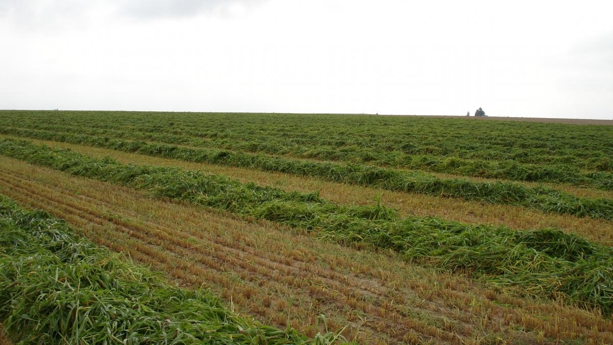 Windrow grazing