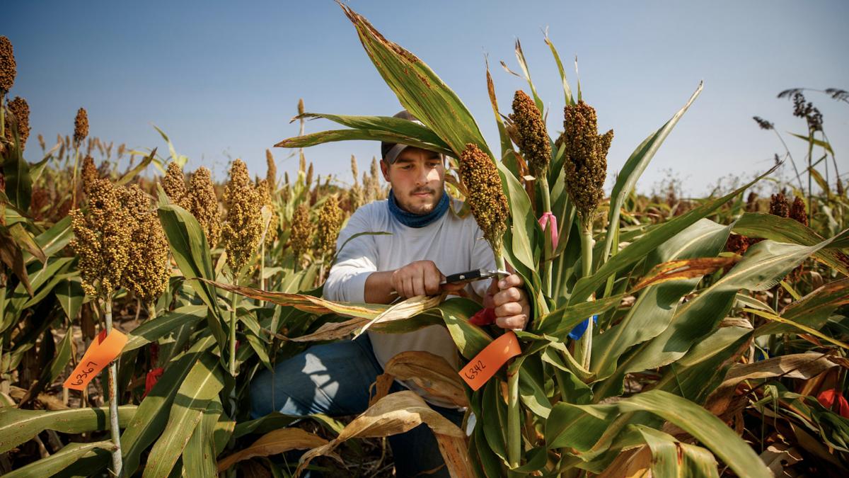 Man harvesting sorghum
