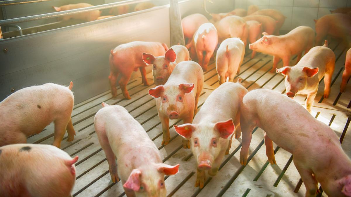 University of Nebraska swine