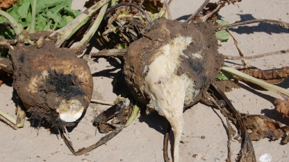 These sugarbeets demonstrate symptoms of a root disease characteristic of the wet-rot disease.