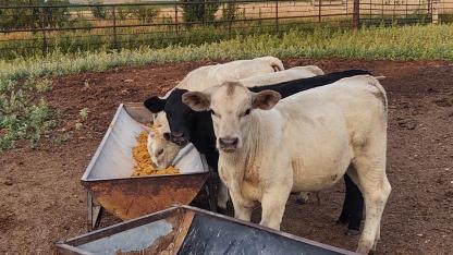 Early weaned calves.