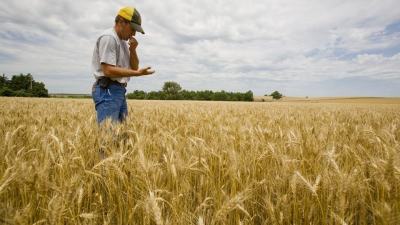 A farmer in a wheat field. Links to larger image.