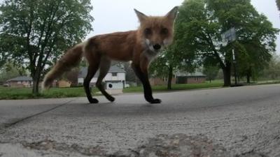 Capitol City fox