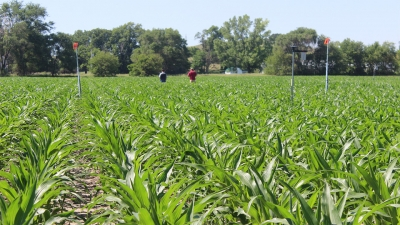 corn field with two people walking through it