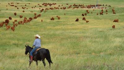 horeback rider and cattle