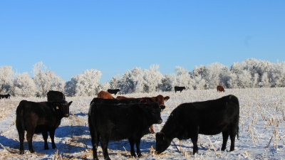 Cattle grazing on cornstalks