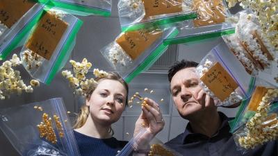 Nebraska's David Holding (right) and Leandra Marshall (left) examining corn kernels. Links to larger image.