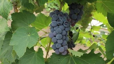 Nebraska winemakers