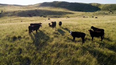 Calf  Health Management on Arrival webinar series
