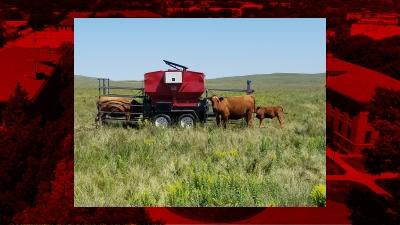 cows near a smart feeder