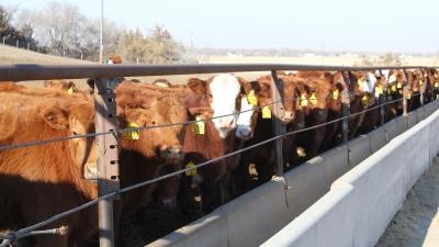 calves in feedbunk