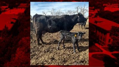 calving