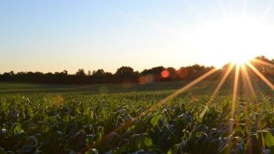 A cornfield at sunrise