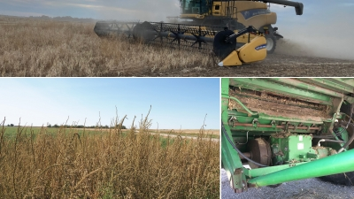 Combining weedy dry beans, Palmer amaranth in dry beans, Combine cleanout (photo by Meaghan Anderson).