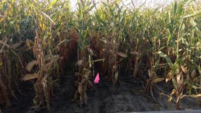 pipe irrigated corn field