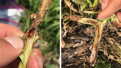 orange soybean gall midge larvae
