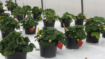 Strawberry plants in containers. Links to larger image.