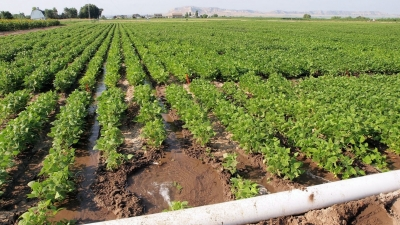 Furrow irrigation using gated pipe