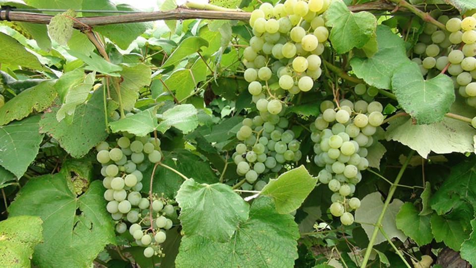 Edelweiss Grapes