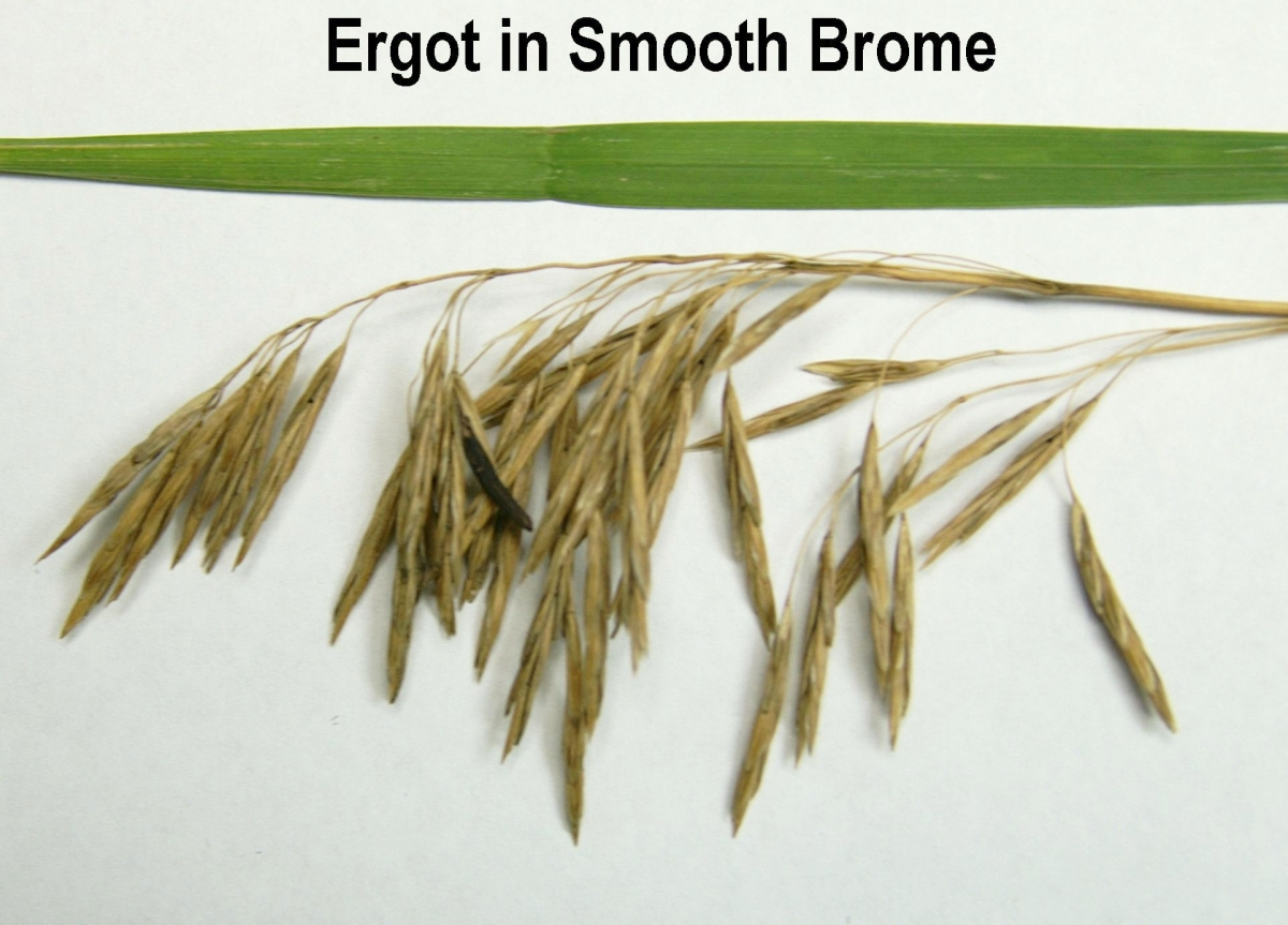 Ergot in Smooth Brome. Links to larger image