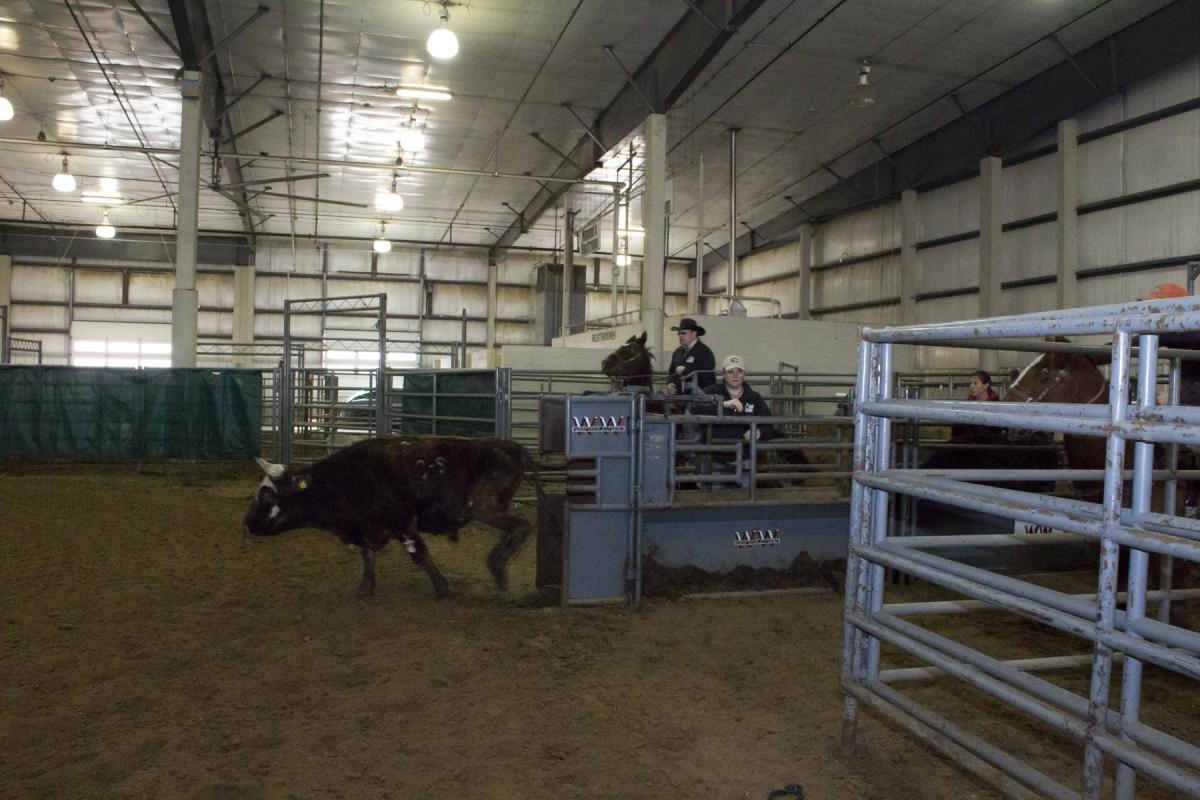 A calf at a rodeo.