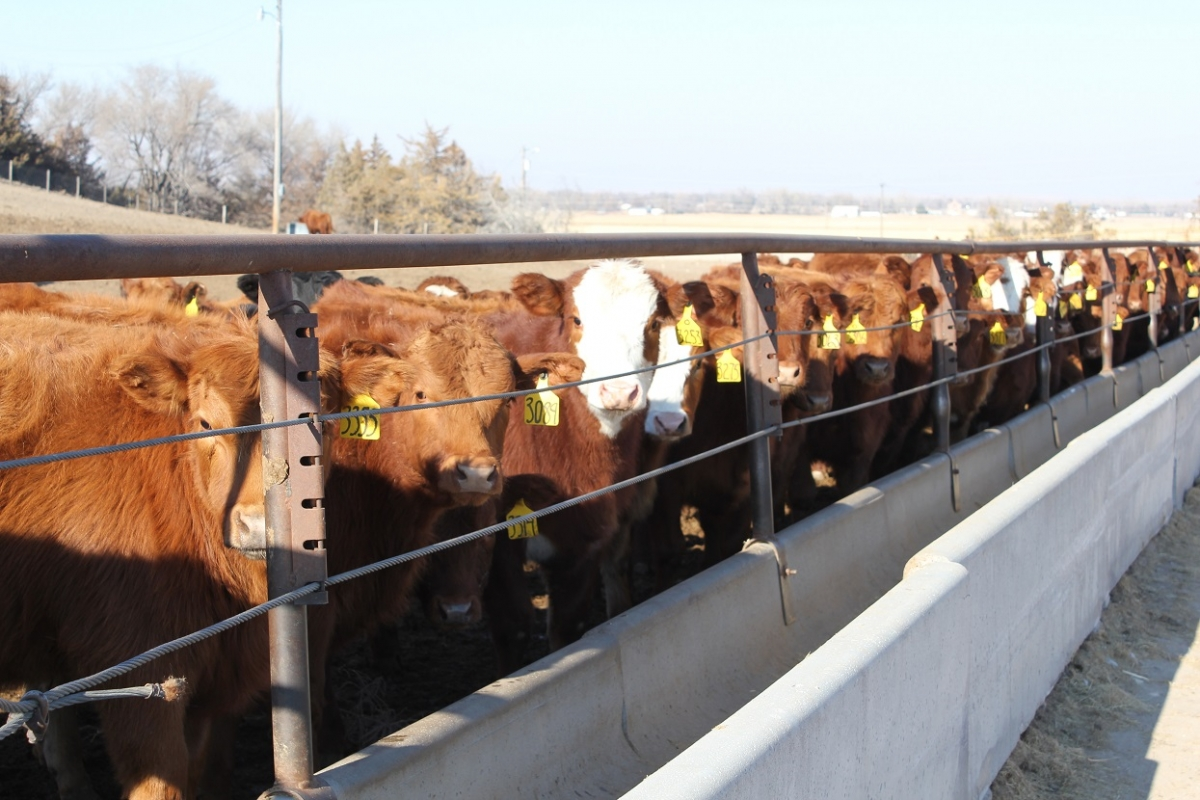 calves in feedbunk