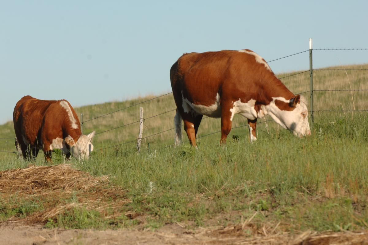 Livestock | IANR News