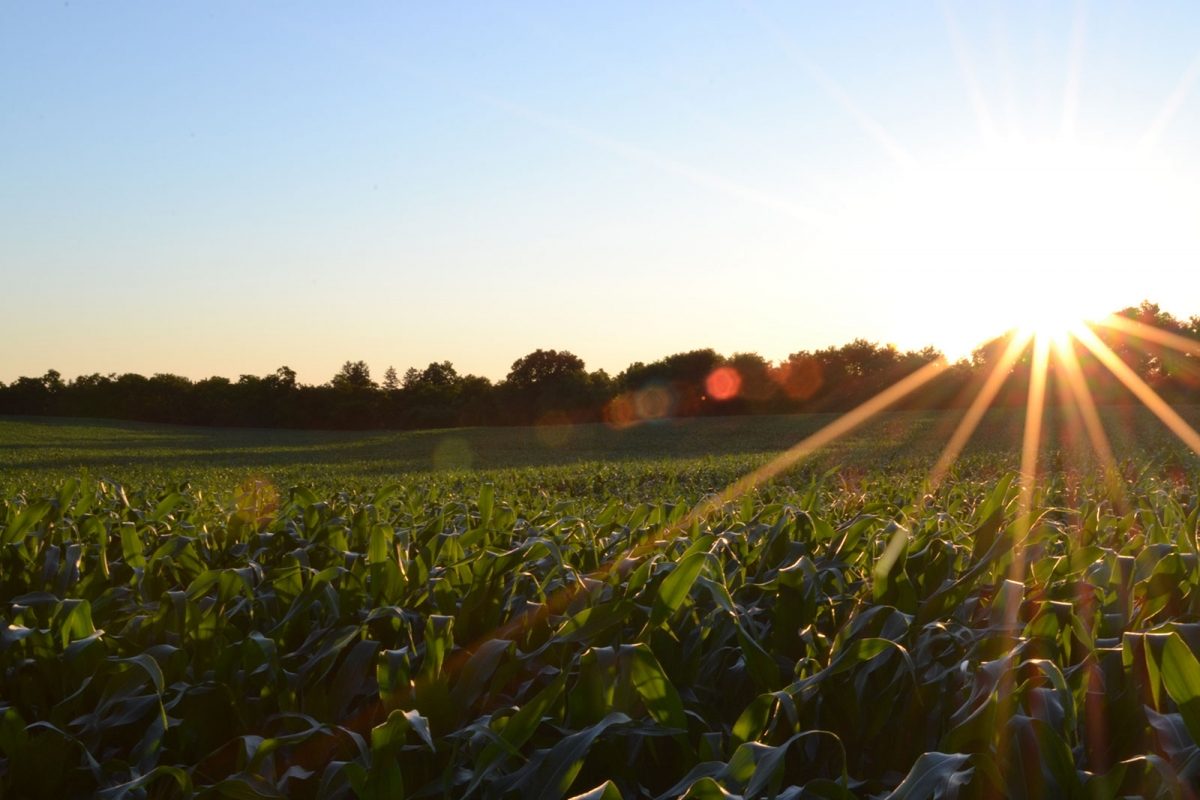 A cornfield at sunrise
