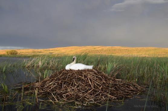 Platte Basin Timelapse swan