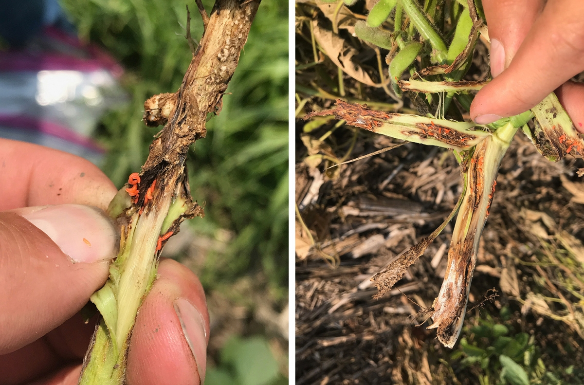 orange soybean gall midge larvae