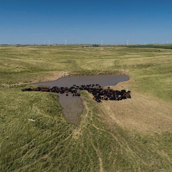 Cattle standing around water